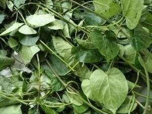 Picture of Dried Utazi Leaf 20g (Gongronema Latifolium)