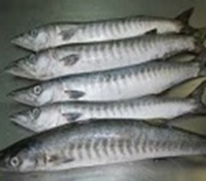Picture of Barracuda
