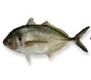 Picture of Jackfish (Trevally)