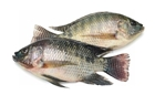 Picture of Tilapia XLarge