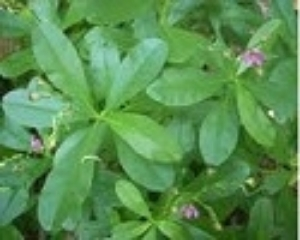 Picture of Fresh Water Leaf 160g (Talinum Triangulare) - Box (10 Bunches)