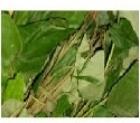 Picture of Frozen Whole Fresh Utazi Leaf (Gongronema Latifolium)
